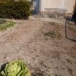畑、アスパラガス草むしりと追肥