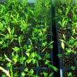 水菜の定植