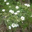 凡さんの山歩き  マケドニア 花のテトポ山
