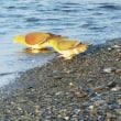 『アオバト』 砂浜で