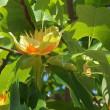 百合の木(ゆりのき)