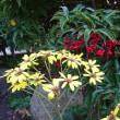 今年も侘助椿が咲き始めました(^^)v