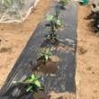 夏野菜の植付け