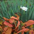 『季節の花』 水仙