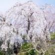 中院、喜多院のしだれ桜