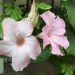 タンゴの花