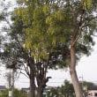 この木、なんの木?(エンジュ)