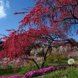 面の木のツツジと設楽の花桃満開。