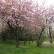 八重桜が彩る