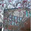 朝鮮通信使ユネスコ記憶遺産記念 金両基先生ご自宅の「赤い木蓮」の「つばさ静岡」への移植作業始まりました!