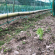 玉ねぎの雑草取りと追肥
