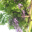 今年の藤 This year's wisteria