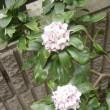沈丁花の花が真っ盛り