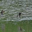 今季、初見のコアオアシシギ3羽の色んな姿を・・・