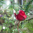 開くかな バラの熱情の花