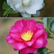 紅白の山茶花