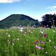 雲谷高原に咲くコスモスetc