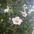 沿道の花、梔子(クチナシ)と槿(ムクゲ)