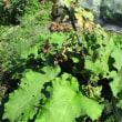 鉢植えゴボウ発芽