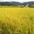 コシヒカリの稲刈り、始めました。