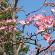 ハナミズキが癒してくれる春の日 flowering dogwood makes me happy more than anything else in spring
