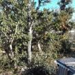 庭木の剪定 樫の木