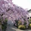 土佐公園/土佐稲荷神社の桜(朝)、浜寺公園の桜など