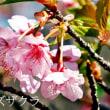 神代植物公園の早咲き桜とイチゲたち