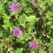 <ハマアザミ(浜薊)> 関東以西の太平洋側に分布する海浜植物