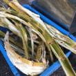 贈答用にも対応します!&石垣島の米原ヤエヤマヤシ群落