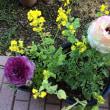 ラナンキュラス、ボケの花