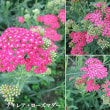 アキレア・ローズマダーの花は