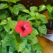 ハイビスカスの花咲く