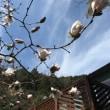 桜とコブシ