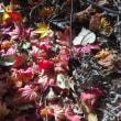 紅葉の積葉10cmの午後の森駐車場を竹箒で掃除する。