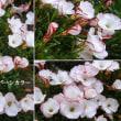 オキザリス・バーシカラーの花は