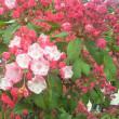 カルミアの花!