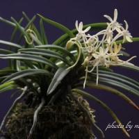 富貴蘭「菊乙女」の花