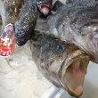 「白身の刺身」がアツい!神恵内「本あぶらこ」乙部「水カレイ」「真そい」!!刺身と手作り干物の専門店「発寒かねしげ鮮魚店」。