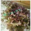 プランターレタスの収穫