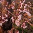 桜の開花が一気に!