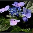 暑い日差し、月照寺の紫陽花