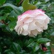 2018/10/4(木) 今年はじめて山茶花が咲いているのを見ました。