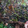 ヤマブドウ:山葡萄(山ではあまり食べない?)