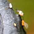 ゴンズイノフクレアブラムシを喰らうヒラタアブの幼虫