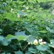 宮崎県・歴史の山_ 霧立越 に ひっそりと咲く  天涯の花(キレンゲショウマ)