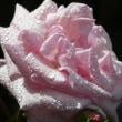 『旧吉田茂邸のバラ』 マダムバタフライ