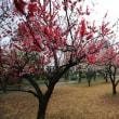 馬場記念公園の梅