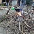 棘ありのグミを焚き木に