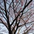 孫の記念桜